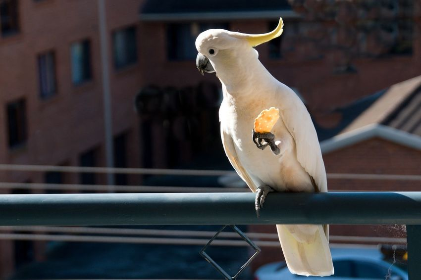 Australian Sulphur-crested Cockatoo (Cacatua galerita), eating a cracker/biscuit standing on a balcony rail. Gosford, New South Wales, Australia. photograph by Geoff Childs. Animal Themes Animal Wildlife Animals In The Wild Bird Close-up Cockatoo Day No People One Animal Outdoors Parrot Perching Sulphur-crested Cockatoo,