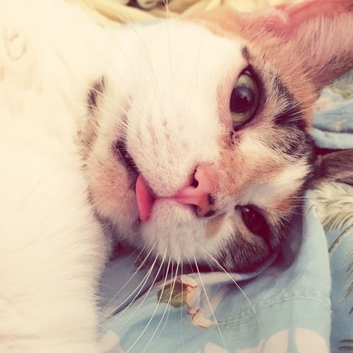 Say cheese? Cat Domestic Cat Kitten Whisker Pets Tounge Out  Tounge Wise Guy LOL Calico Cat Calico Kitty Kitty Cat Funny FUNNY ANIMALS Funny Cat Haha Close-up Feline Photobomb