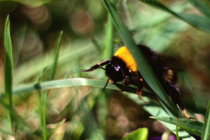 Spring Into Spring Bumblebee Macro Nature Nature On Your Doorstep Canon EOS 700D Pentacon 50mm 1.8