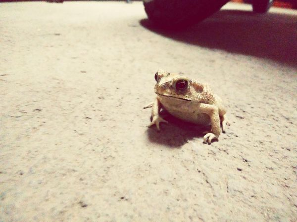 Frog One Animal Animal Themes Reptile Nature Outdoors Close-up Adapted To The City Frog Frogs Toad RBK OnePlusX Smartphonephotography Urban