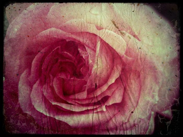 Dreaming Roses Terra Flora Shooting Fish In A Barrel