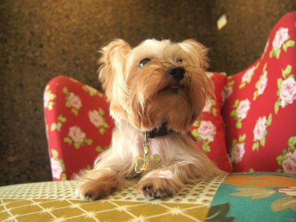 汪!my name is ocha🐶where is my food🍶🍝🐾 Ocha Yorkshire Puppy Dog Pet Lovely Cute いぬ