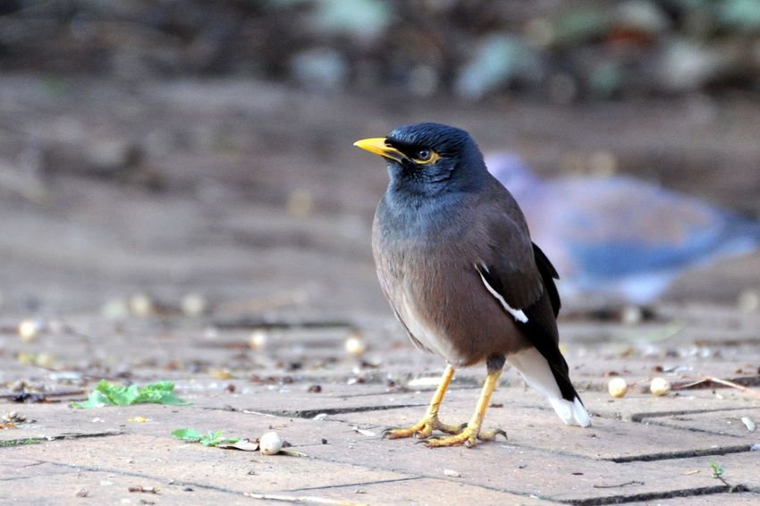 Baby Bird with attitude Baby Bird Mynahbird Chick Attitude Mynah garden Angry Peeved Hungry Cheeky Attention noises
