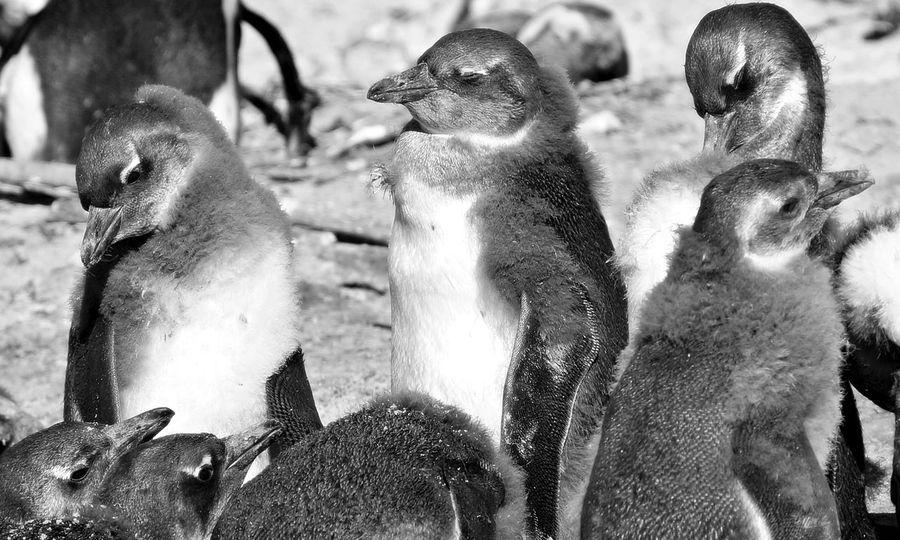 Penguin Penguin Island Penguin Island View Penguin ♡ PenguinLove Penguins Penguins In Africa Penguins!
