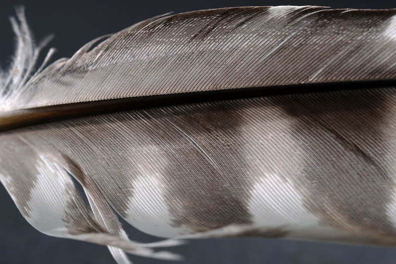 Close-up Day Detailed Shot Feather  Hawk Feather Indoors  No People Studio Shot Black Background