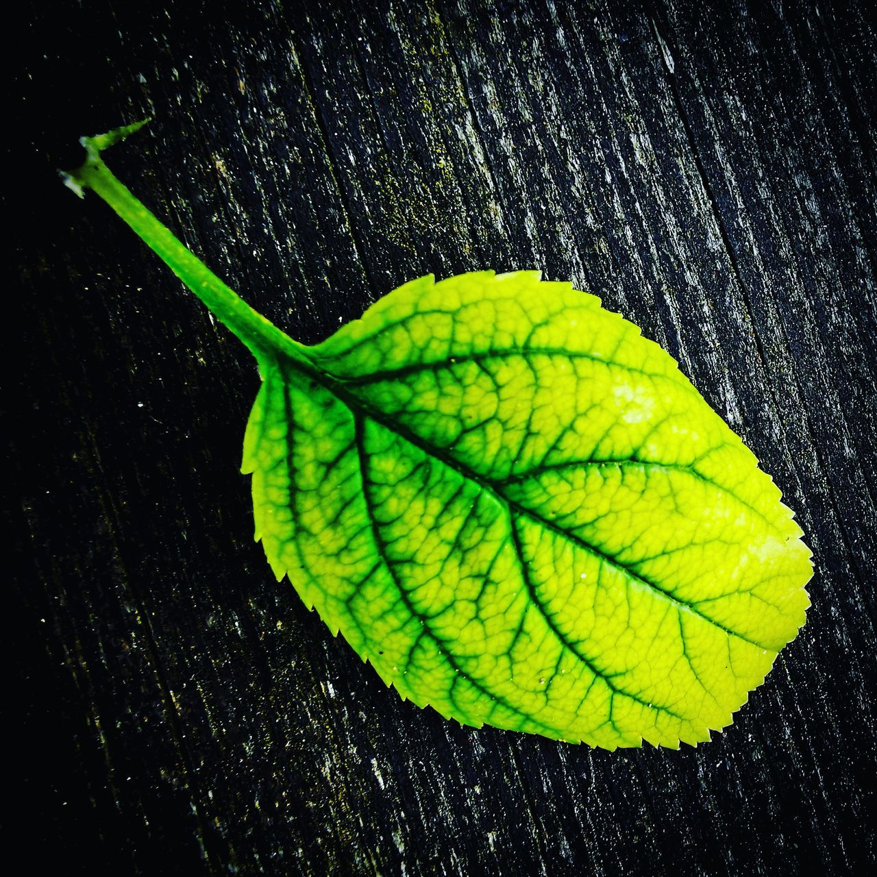 HIGH ANGLE VIEW OF WET PLANT LEAVES IN BLACK BACKGROUND