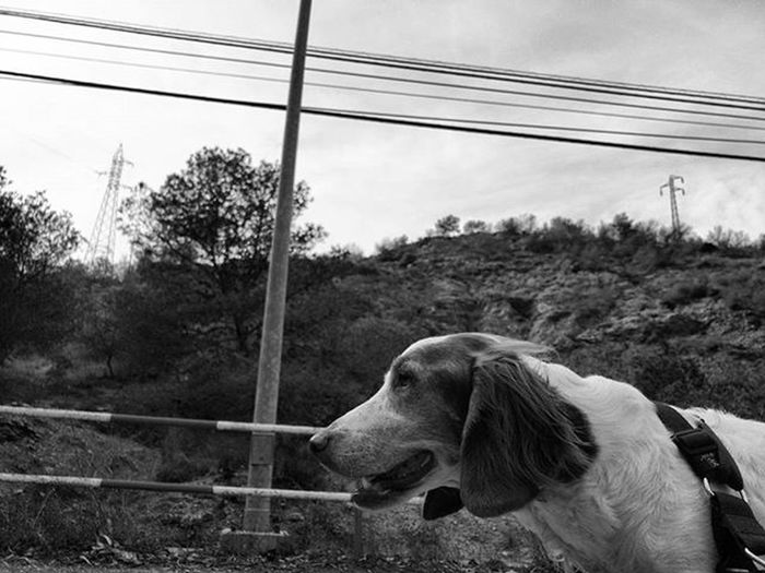 Hada is perfecting the posing / gazing into the distance.... Brittanyspaniel Brittanyspaniels Brittanyspanielsofinsta Dogstagram Dogsofinstagram Rescuedogsofinstagram Dogs Dog Rescuedog Rescuedogs Blackandwhitephotography Blackandwhite Bnw Bnw_maniac Bnwlovers Monochrome Bnw_lover Bnw_lovers Mono