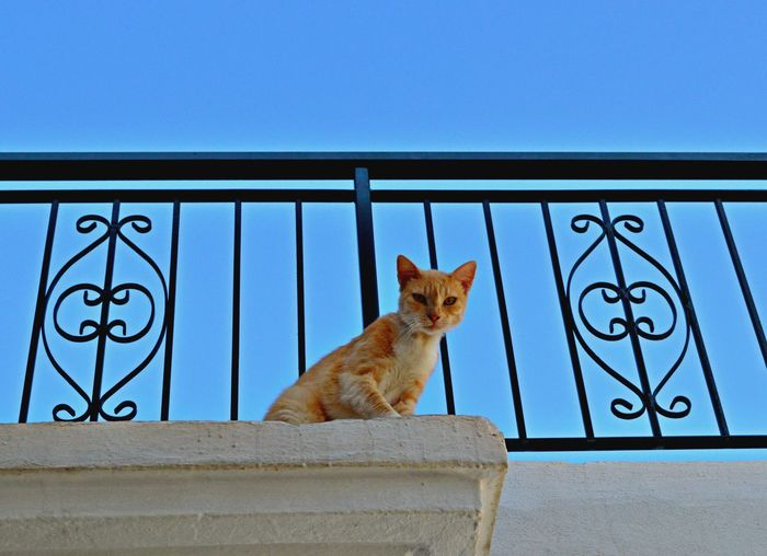 Animal Animal Themes Blue Carnivora Cat Clear Sky Day Domestic Animals Domestic Cat Feline Mammal No People One Animal Pets Railing Sitting Paws For Thought