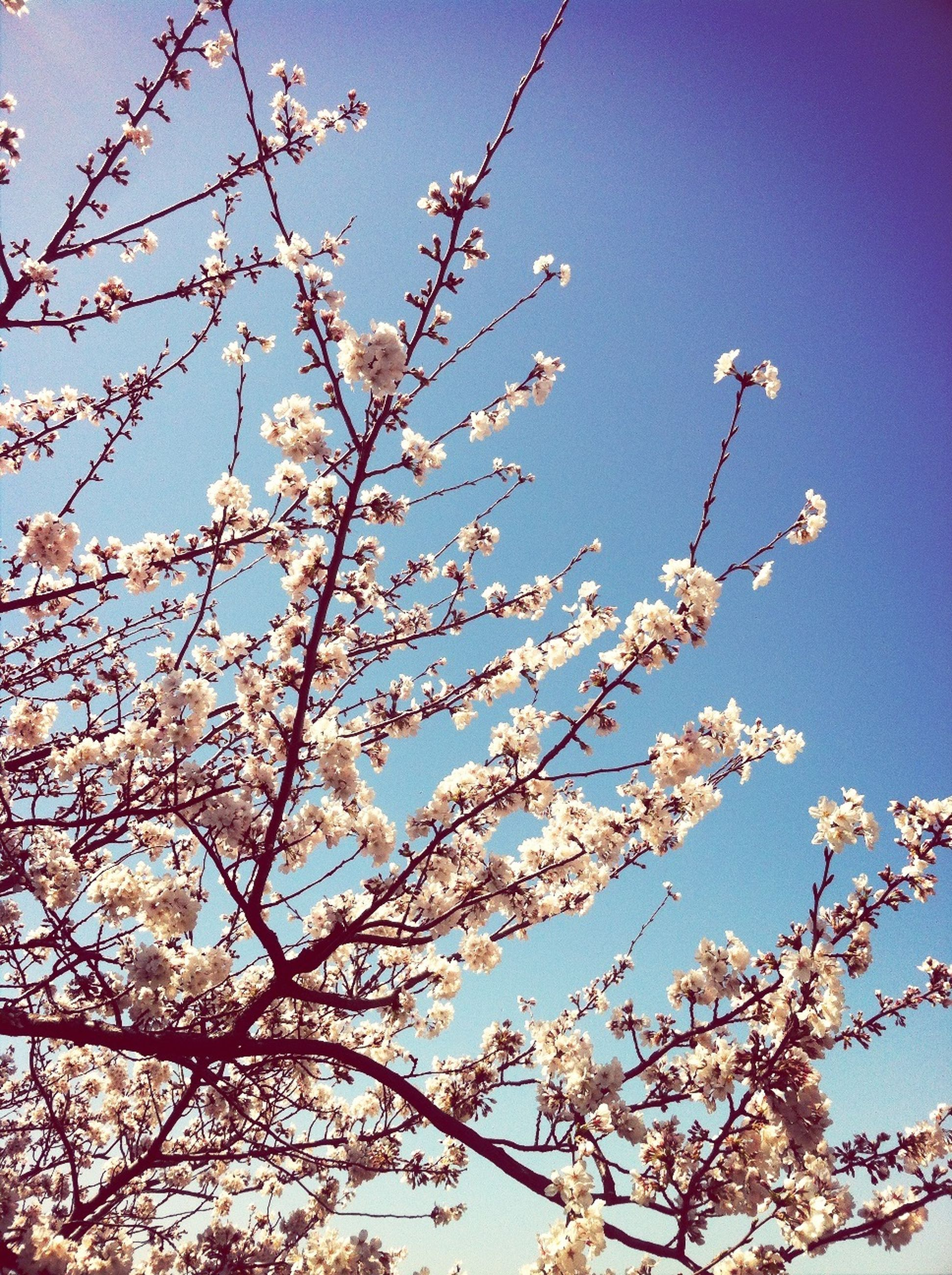 flower, low angle view, branch, tree, freshness, clear sky, growth, blossom, beauty in nature, fragility, nature, cherry blossom, cherry tree, blue, in bloom, sky, springtime, blooming, high section, fruit tree