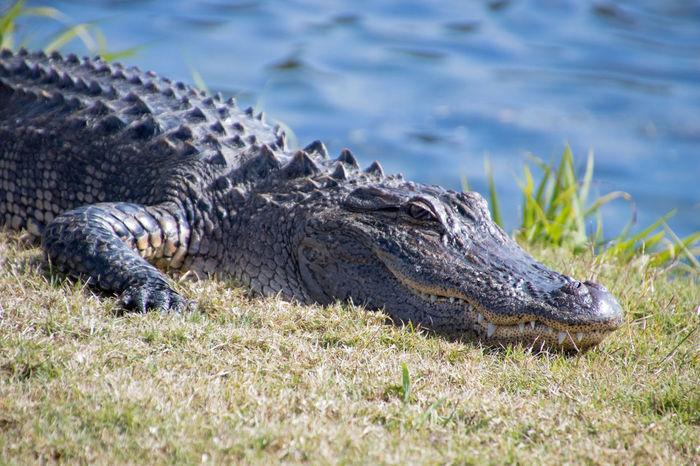 Gators Nature Alligator Alligators Animal Themes Animal Wildlife Animals Animals In The Wild Close-up Day Nature No People One Animal Outdoors Predators Reptile Reptiles Water Wild Life