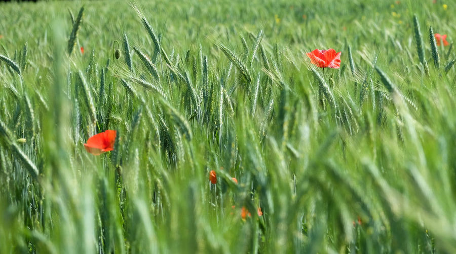 Poppy Red Growth Flower Nature Plant Field Grass Fragility Beauty In Nature Green Color Outdoors Day Uncultivated No People Wildflower Freshness Summer Petal Leaf Wheat Cropped Farming Farm Life
