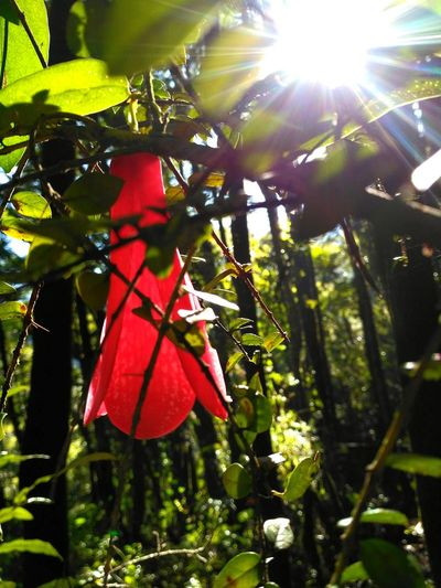 Copihue,flor Nacional. Copihue Nature Sunlight Tree No People Nature Photography Travel Landscape Natural Flowers, Nature And Beauty Flower Photography
