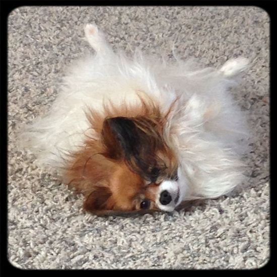 I Love My Dog Puppy Love Papillon It's A Dogs Life ❤