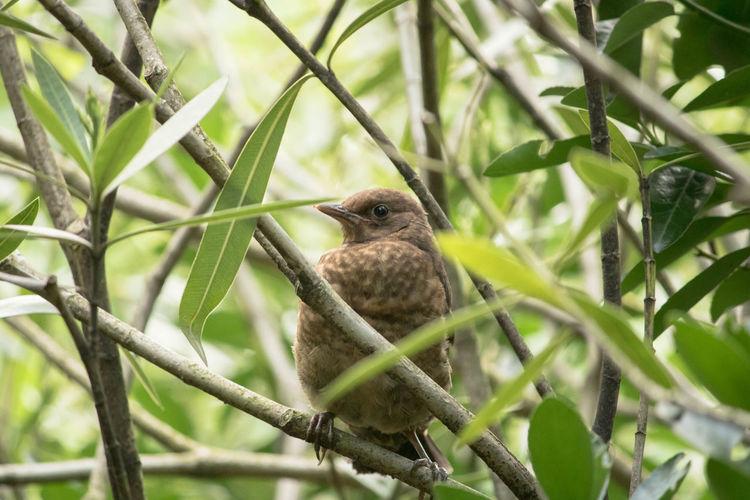 Mirlo Cria De Mirlo Bird Perching Tree Branch Animal Themes Close-up