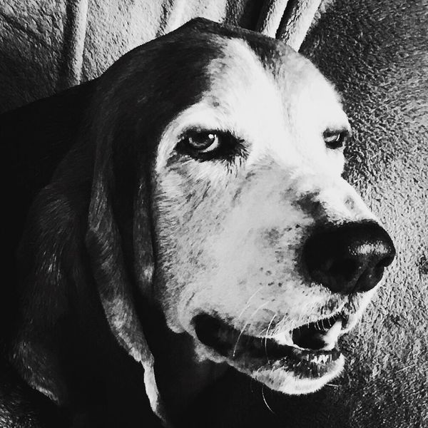 My old hound dog Cooper Check This Out That's Me Hanging Out Hello World Cheese! Relaxedand Happy Bassetworld MySweetheart Ilovebassethounds Bassetmoments Iphonephotography Posing For The Camera Adogslife Nap Time BeautifulBoy Blackandwhite Photography