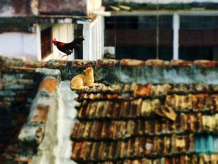 Animal Themes Bird Cat Rooster Cute Domestic Animals No People Pets Outdoors Day Roof in Santa Clara, Cuba Art Is Everywhere The Secret Spaces The Street Photographer - 2017 EyeEm Awards Neighborhood Map Live For The Story