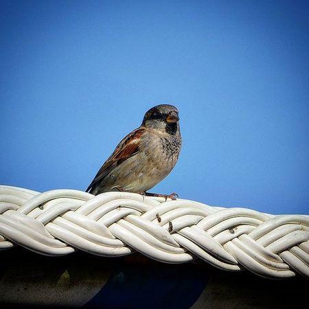 Vogel Spatz Bird Blauerhimmel Warten Picoftheday Bestoftheday
