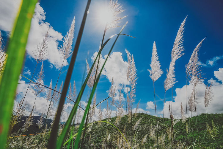Cogon grassland of Mt. Binutasan in Tanay, Rizal Adventure Agricultural Land Beauty In Nature Blue Breeze Climbing A Mountain Close-up Cloud - Sky Cogon Grass Field Fresh Grassland Growth Hike Low Angle View Mountains And Sky Nature Nature_collection No People Outdoors Plant Province Sky Sunlight Wind