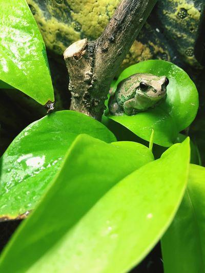 カエル Flog 両生類 Amphibian
