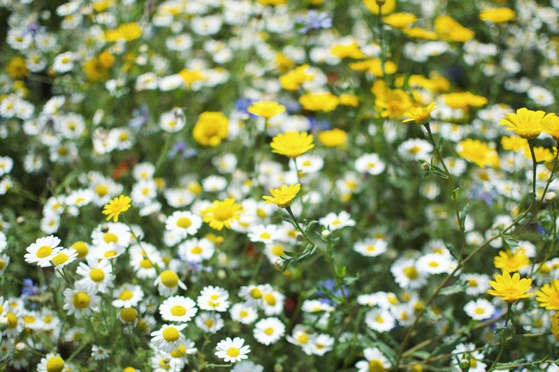 Flower Flowering Plant Plant Freshness Yellow Beauty In Nature Fragility No People Outdoors Close-up Sunlight Vulnerability  Flower Head Growth Nature Inflorescence Day Petal Daisy Field