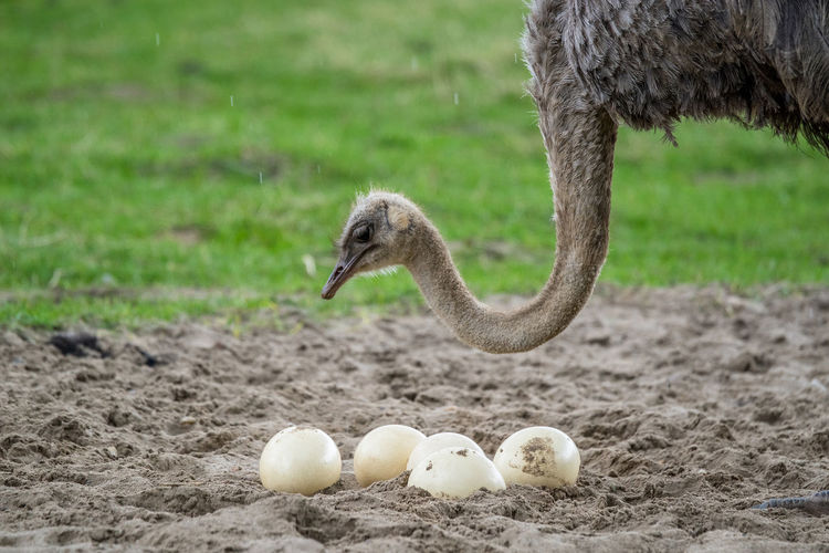 High Angle View Of Ostrich With Eggs On Field