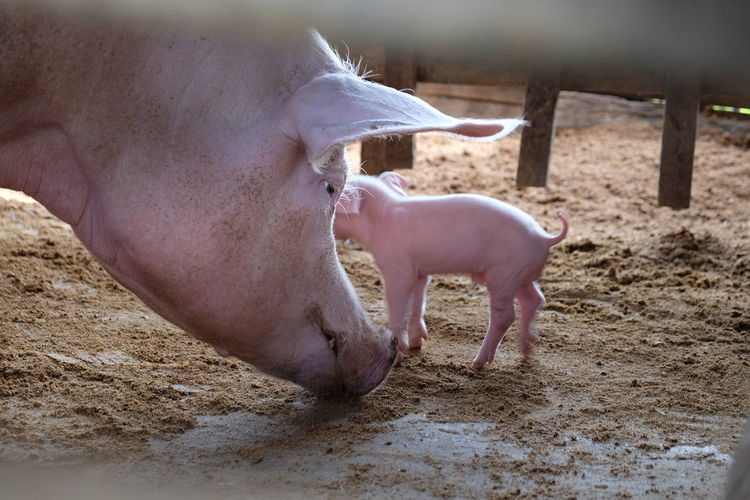 Pigs on field