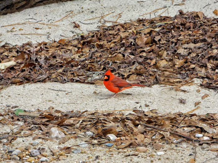 High angle view of northern cardinal on field