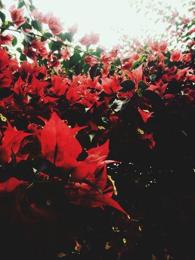 flowers taken by phone. Mobilephotography VSCO Vscocam Vscophoto Vscoasia Vscovietnam Flower Red Tree Sky Close-up Flower Head Leaves Fall Dahlia Petal Leaf Vein Hibiscus Cosmos Flower Pink Maple Leaf Fallen Pollen Single Flower Plant Life In Bloom Blossom Blooming Stamen Change