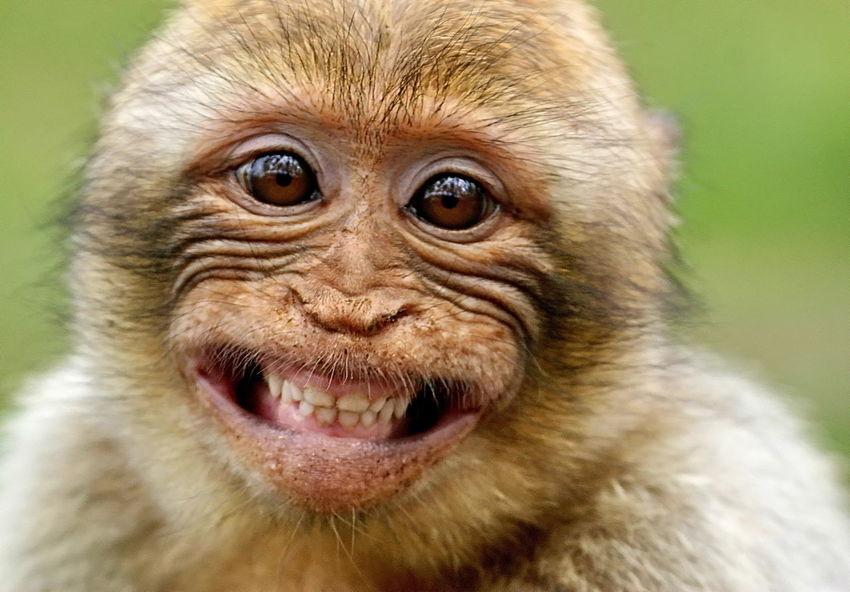 Berberaffe Affenkind Freundlich Lachen Zähne  Braun Looking At Camera Animal Body Part One Animal Ape Portrait Primate Eye No People Outdoors Nature Headshot EyeEmNewHere