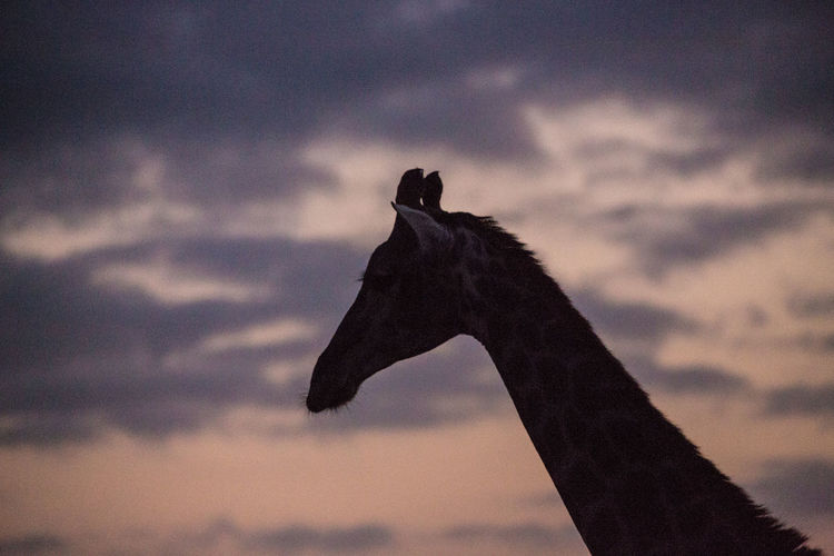Giraffe Animal Themes Animals In The Wild Beauty In Nature Bird Close-up Cloud - Sky Day Low Angle View Mammal Nature No People One Animal Outdoors Silhouette Sky Sunset