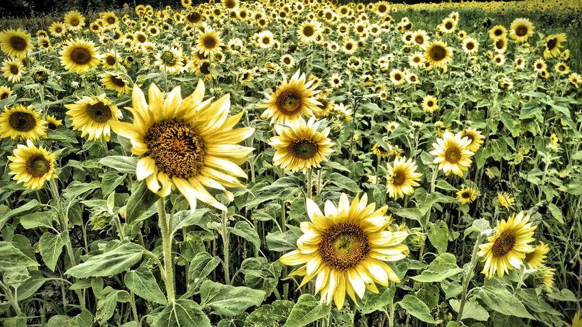 Sunflowers Farm Life Country Life Eyeem Michigan EyeEm Nature Lover My Running View Summer Views