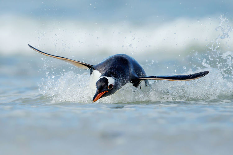 Penguin swimming in sea