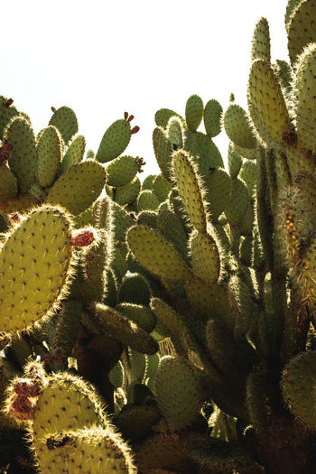 Succulent Plant Cactus Growth Plant Green Color Nature Thorn No People Beauty In Nature Day Close-up Spiked Sharp Prickly Pear Cactus Sky Sunlight Outdoors Fragility Leaf Vulnerability  Arid Climate Climate