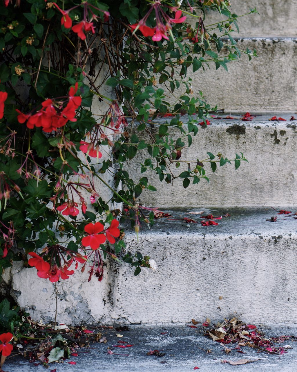 growth, flower, plant, red, nature, leaf, no people, outdoors, ivy, day, beauty in nature