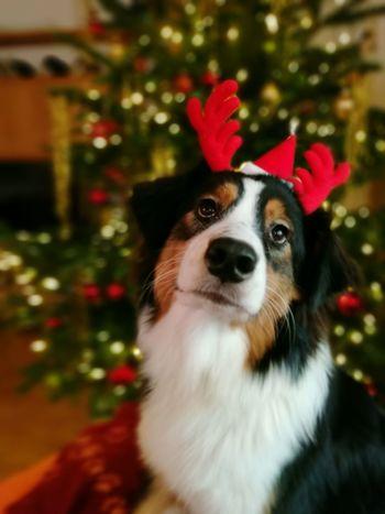 Merry Christmas to all Pets Dog Christmas MerryChristmas Xmas Australianshepherd Australian Shepherd  Aussies Domestic Animals