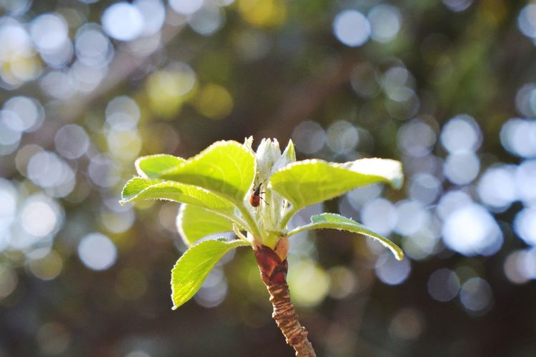 Blossoming Tree Buds Nature Beauty In Nature Beginnings Blossom Bokeh Bokeh Photography Bud Close-up Day Flower Flowering Plant Focus On Foreground Green Color Leaf Nature Outdoors Rose - Flower Roses Selective Focus Sepal Springtime Trioplan Trioplan50
