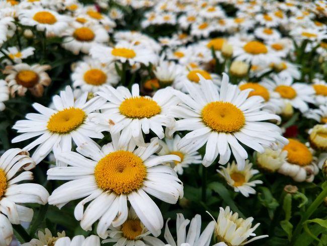 Shasta daisy flowers Gardening Shasta Daisy Flower White Summer Flower Head Flower Petal Yellow Close-up Plant Blooming Daisy In Bloom Blossom Botany Plant Life