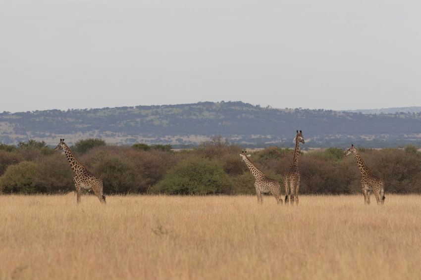 Giraffe Tanzania Wild Animal Africa Afrika Animals Nature No People Safari Serengeti Tansnia Wildlife