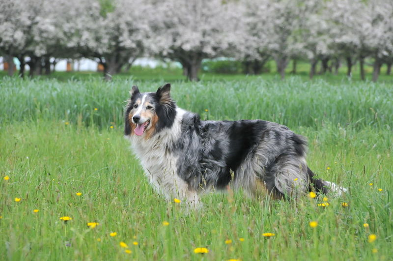 Animal Themes Blue-merle Collie Day Dog Domestic Animals Field Flower Flowers Grass Green Color Growth Mammal Nature Nice Face No People One Animal Outdoors Pets Plant Sheepdog Sky Trained