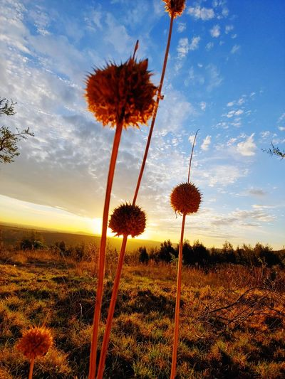seeds in die golden hour Sunset_collection Golden Hour Sunset_captures Outdoor Photography Seed Pod Seed Head Seedhead In The Sunshine Tree Flower Agriculture Landscape Flower Head Growing Stem Stalk