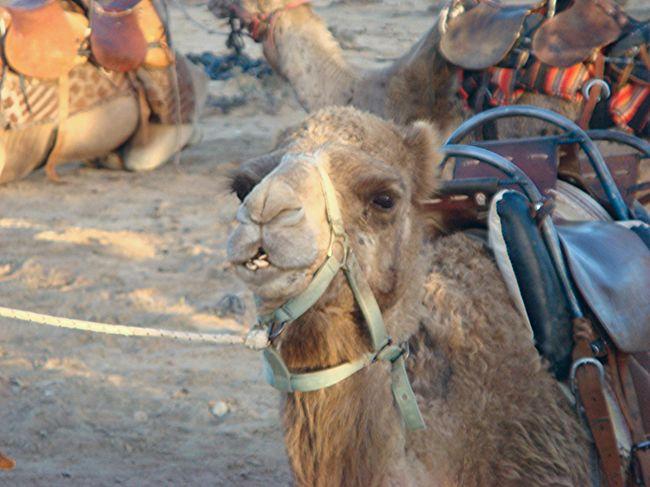 Animal Animal Head  Camel Face Desert Animal Israel Israelinstagram Livestock Middle East Deserts Around The World Birthright