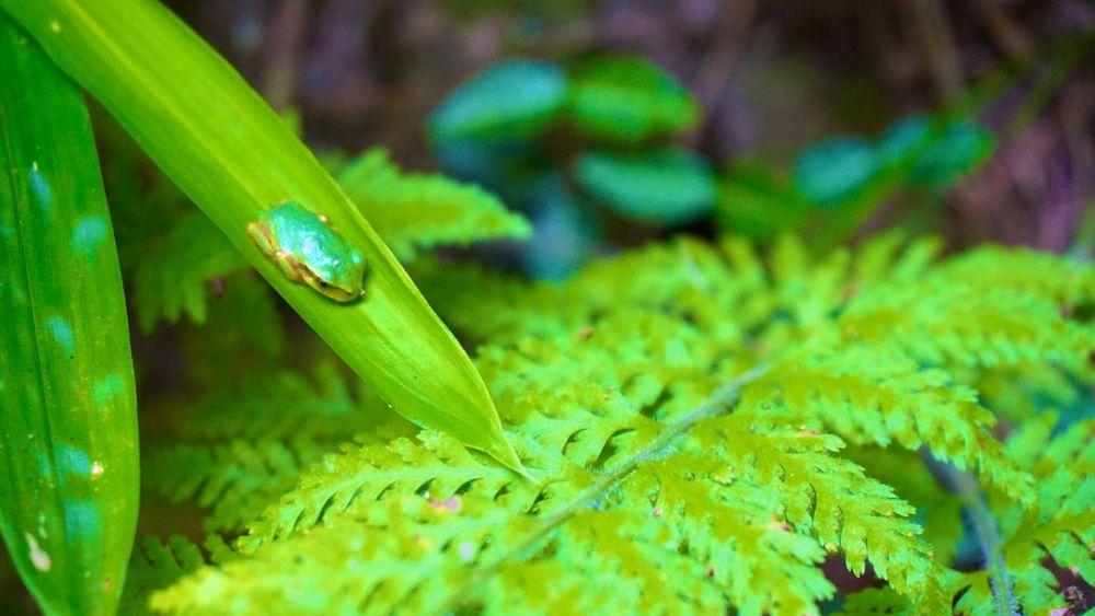 雫の様に佇み…暑さをしのいでおります‼︎⊂⌒~⊃;-ω-)⊃ 。o0(暑い) Japan Nature 葉っぱ Leaf カエル 高蔵寺