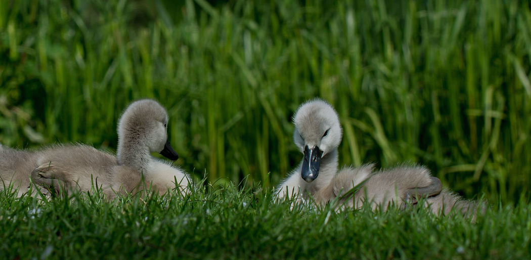 Animal Family Animal Themes Beauty In Nature Day Field Focus On Foreground Goose Grass Grassy Green Color Growth Nature No People Outdoors Selective Focus Wildlife Young Animal Young Bird