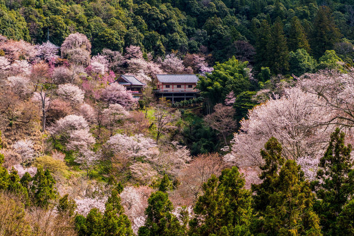 Cherry Blossoms Japan Photography Nara,Japan Travel Photography Yoshinoyama Architecture Beauty In Nature Flower Mountain Sakura Blossom Scenics Springtime Travel Destinations Yoshino Mountain