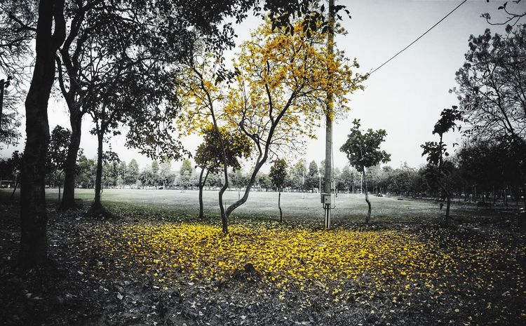 Summer Coming Tree Nature Beauty In Nature Growth Day Yellow Tranquility Outdoors No People Scenics Branch Sky