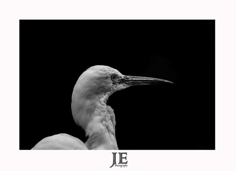 One Animal Animal Themes Bird Animals In The Wild Studio Shot White Background No People Day Perching Close-up Outdoors