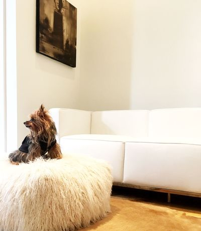 Yorkshireterrorist Yorkie White Background White Room Dogs Of EyeEm Little Dog Big World Modern Furniture Lc3 Corbusier Architecture Home Interior White Leather Whitehouse Yorkshire Terrier Littledog Modern Furnishings