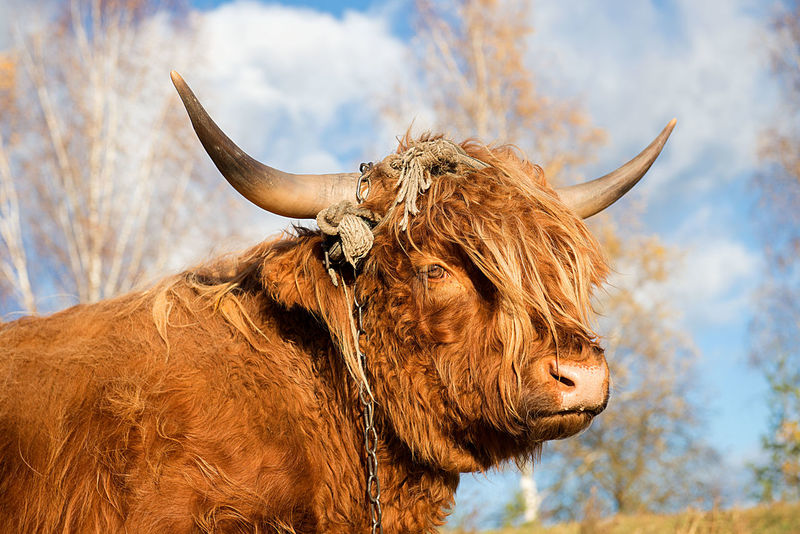 brown bull close-up portrait Agriculture Animal Themes Animals Portraits Autumn Brown Brown Bull Bull Cattle Cattle Breeding Close-up Domestic Animals Exceptional Photographs EyeEmNewHere Food And Drink Highland Cattle Horned Livestock Looking At Camera Mammal Meat Pasture Portrait Rural Scene Sky Summer The Great Outdoors - 2017 EyeEm Awards