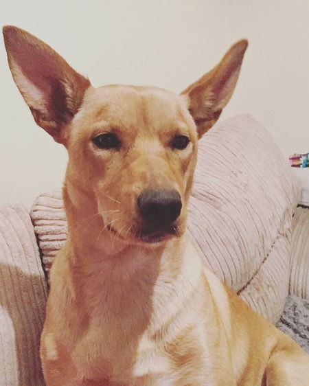 Creamkelpie (null)Domestic Animals Pets One Animal Looking At Camera Dog Animal Head  Animal Ear Australiankelpie