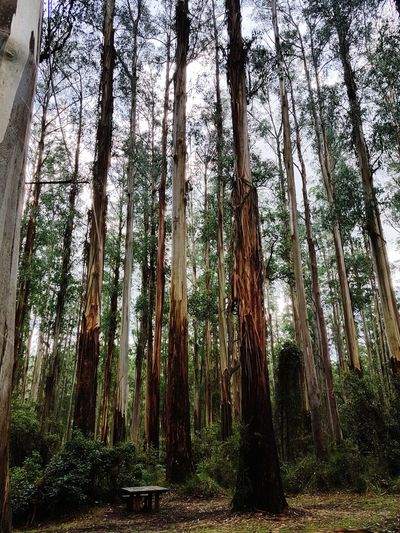 Tall & Majestic Dandenong Ranges Travelphotography Tree Tree Area Bamboo - Plant Forest Tree Trunk Bamboo Grove WoodLand Sky
